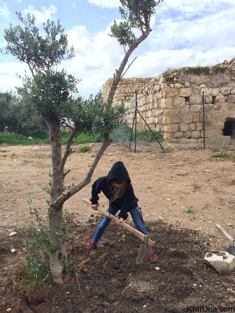 נוטעים עצי זית כפר אוריה