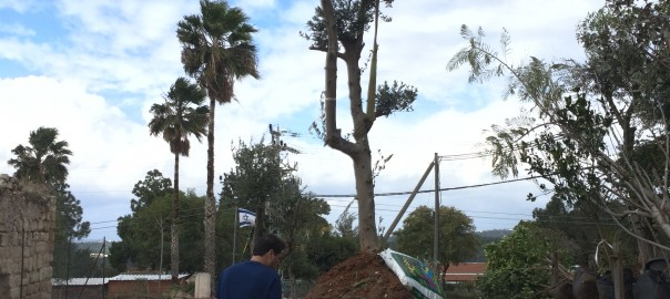 נטיעות עצי זית כפר אוריה ליד החאן