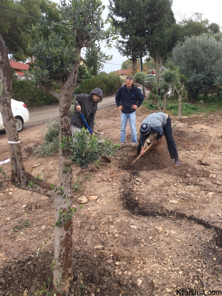נטיעות עצי זית כפר אוריה ליד החאן 2