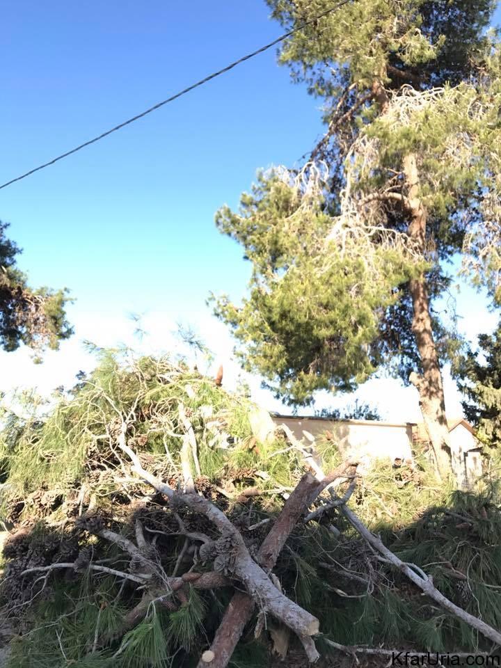 גיזום עצים כפר אוריה 2017